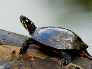 Turtle on a log 500x667